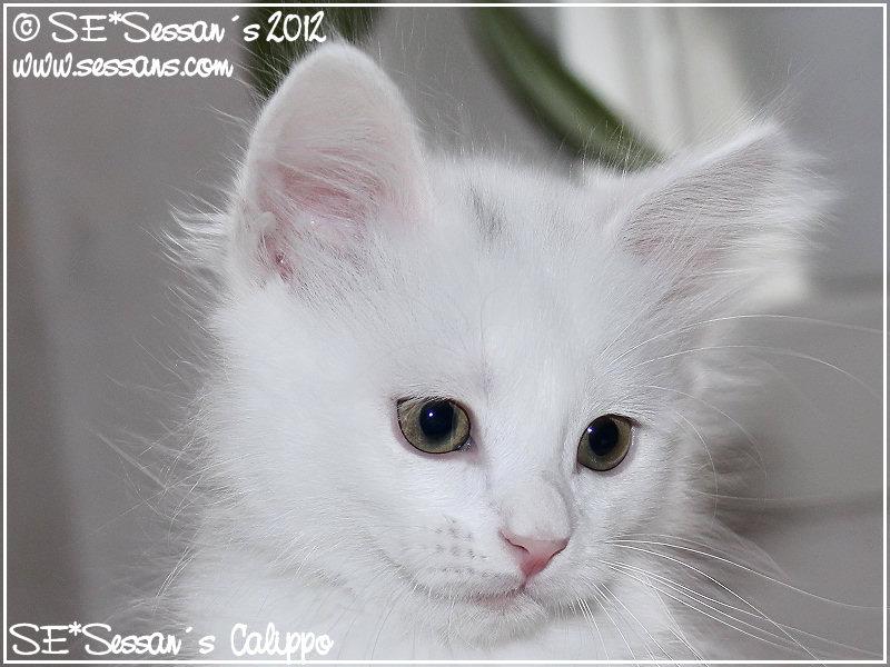 angora katt uppfödare
