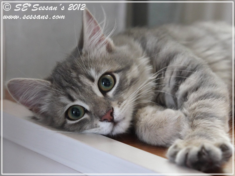 Sibirisk katt