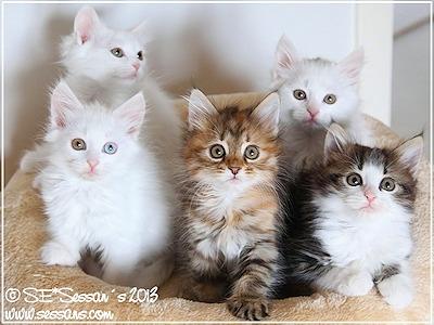 allergivänlig katt sibirisk